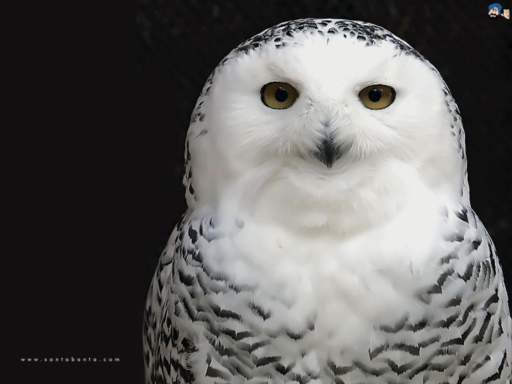Free Wallpaper: White Owl Wallpaper