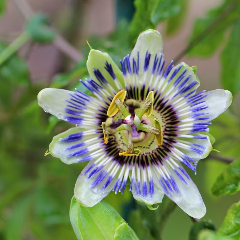 Passionsblomst, passiflora caerulea