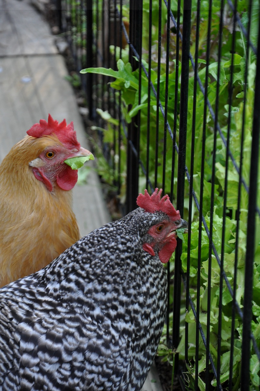Kitchen Garden Hens Gardening With Chickens Update And A Diy Project Community Chickens