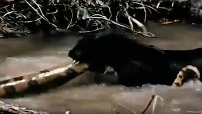 jaguar catches the deadly python