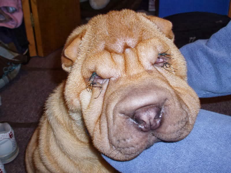 How Big Does A Shar Pei Dog Get