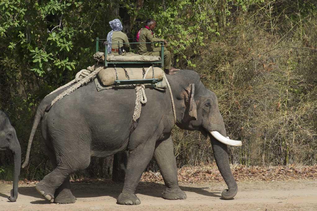 Male ♂ Asian elephant (Elephas maximus) Gautam at Bandhavgarh elephant camp (Bathan)