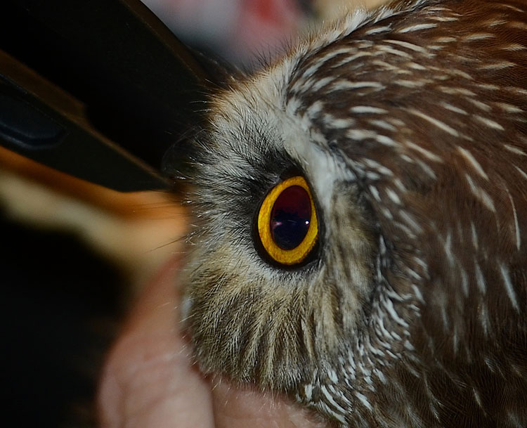 Closeup of a Northern Saw Whet Owl's facial disk.