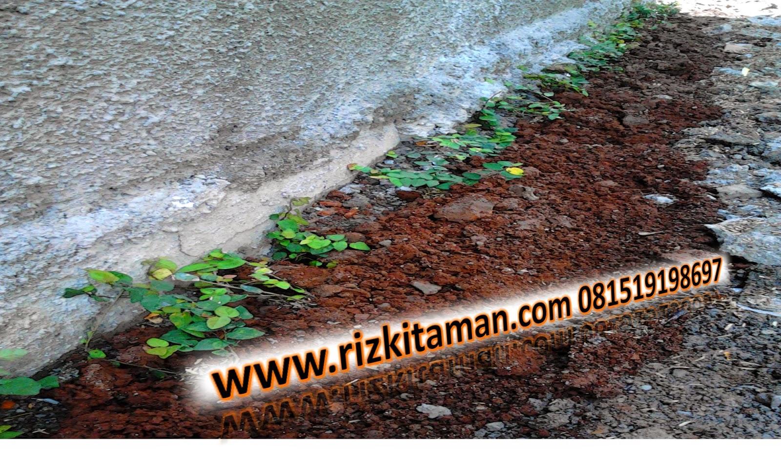 Jual tanaman dolar (tanaman rambat vertikal) | solusi pertamanan | suplier tanaman dan rumput