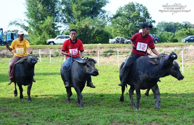Bisaya Buffalo Race Festival in Limbang Sarawak