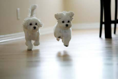 Maltese Puppies on Maltese Puppy Cute White Maltese Puppy Cute White Maltese Puppies