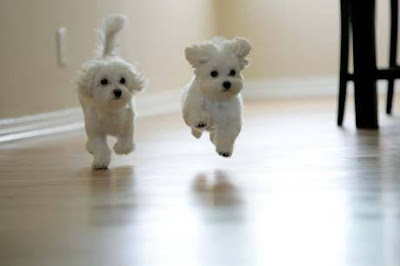 Cute White Maltese Puppies