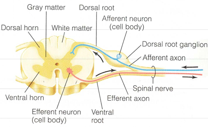 Mixed nerve cell diagram information of wiring diagram neuron transmission nerve lecture 175 bvetmed1 rh bvetmed1 blogspot com nerve cell diagram unlabeled nerve cell diagram unlabeled ccuart Choice Image
