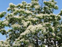 初夏を迎えるころ「西京区民・誇りの木」ヒトツバタゴが咲いている