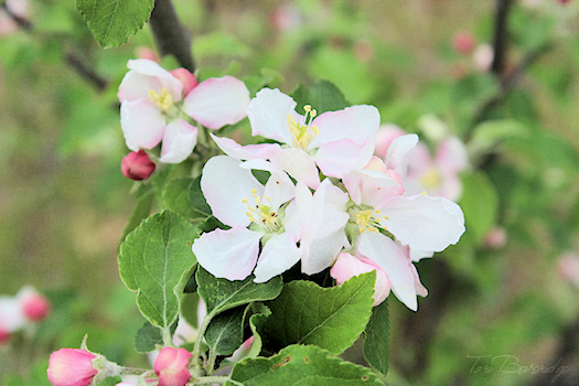 Apple Blossoms Photo 1 by Tori Beveridge