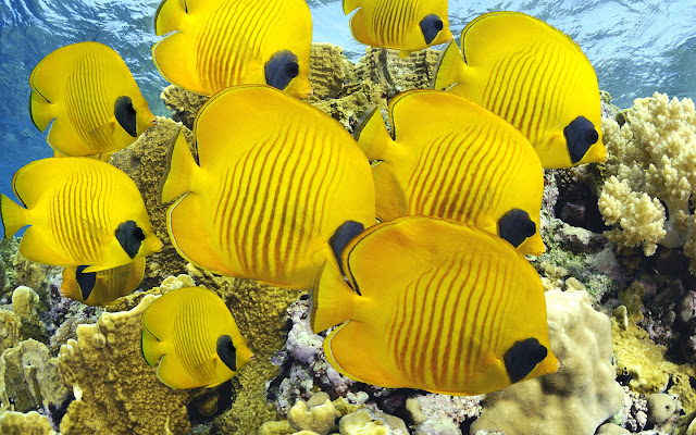 Deep sea Yellow fishes
