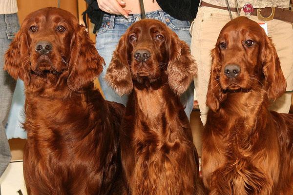 Irish Setter Proper Food Beautiful Hair All About Dogs
