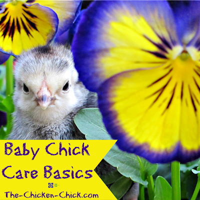 Baby Chick Basics, what you need to know to get started