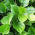 Cara menghilangkan jerawat dengan daun sirih