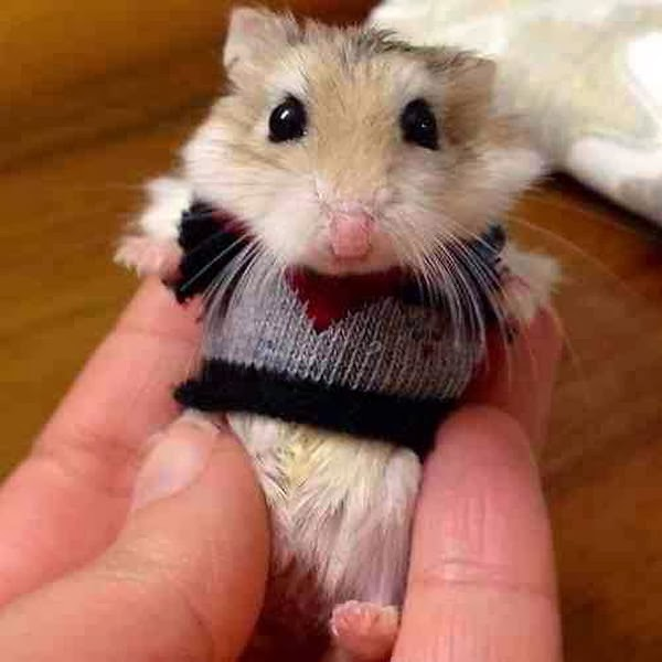 Funny animals of the week - 28 February 2014 (40 pics), hamster wearing tiny sweater