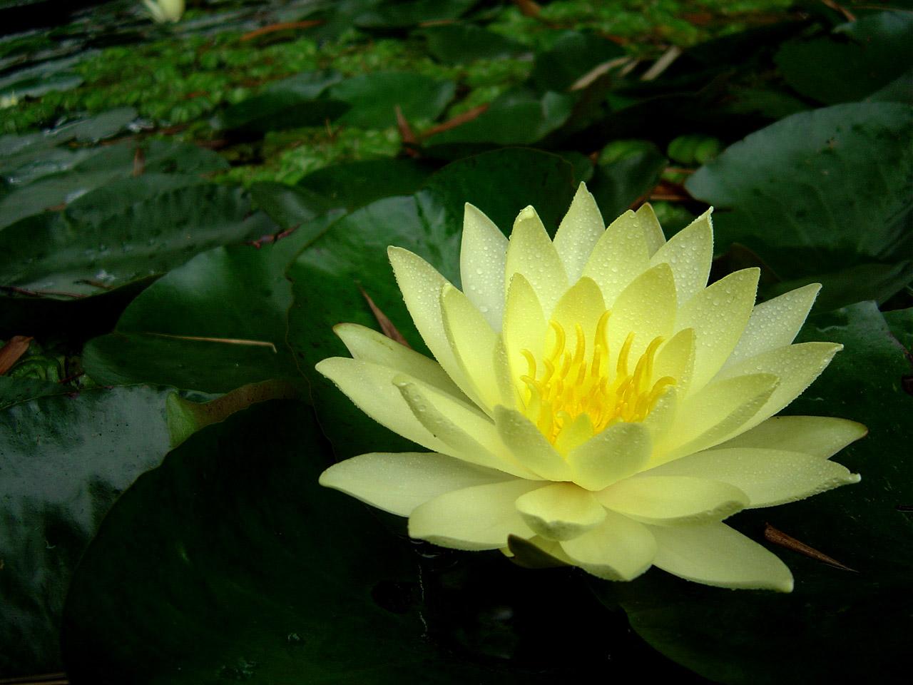 egípcias o branco nymphaea lotus e o azul nymphaea cerulea
