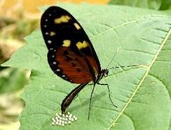 Mariposa poniendo huevo en una planta