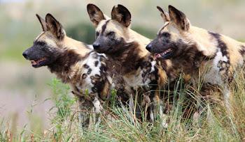 Afrika Köpekleri Belgeseli İzle HD
