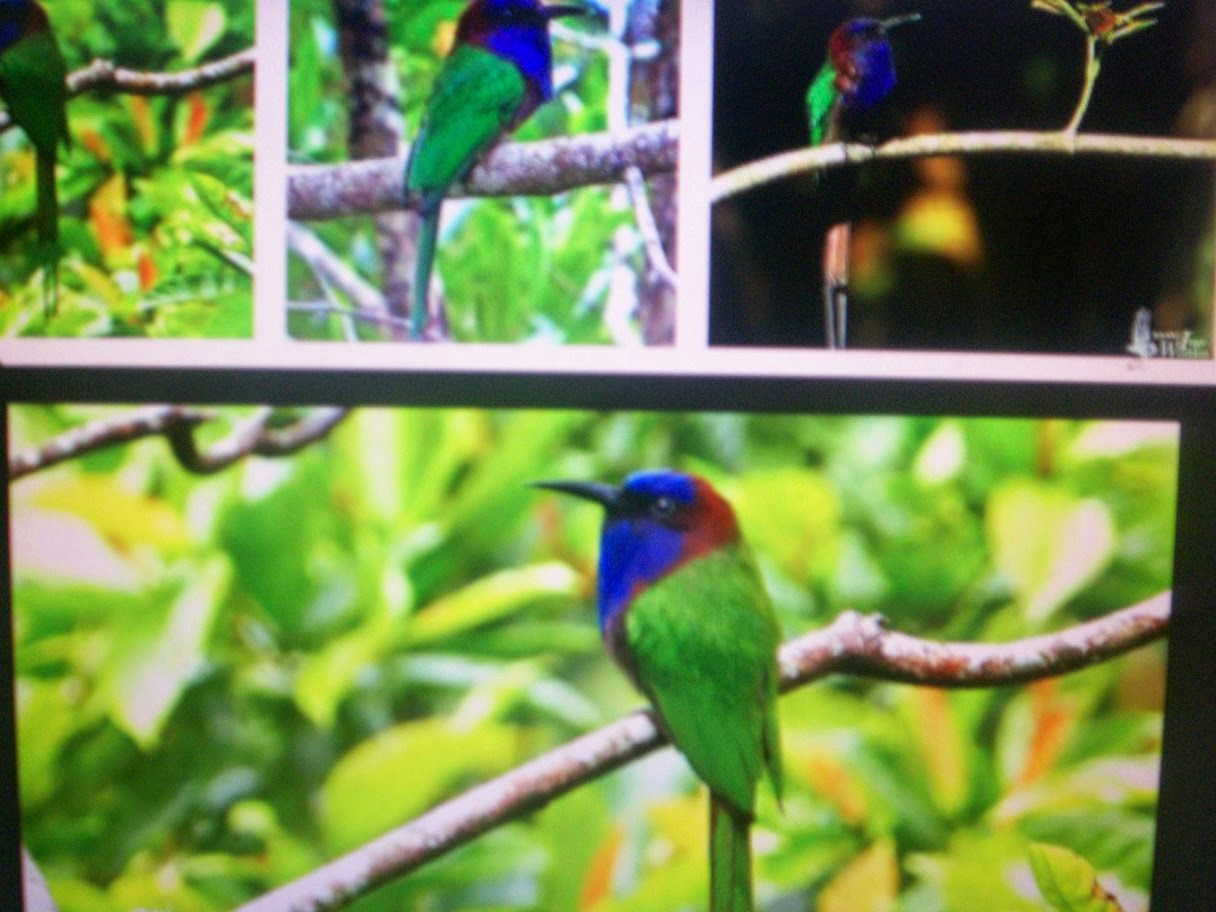 sulawesi birds guide