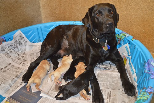 Omaha, black lab with five black and yellow puppies
