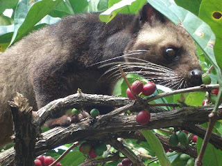 Wild Civet Photos
