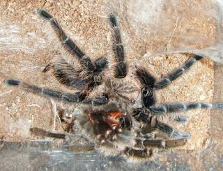 Brachypelma albopilosum tarantula