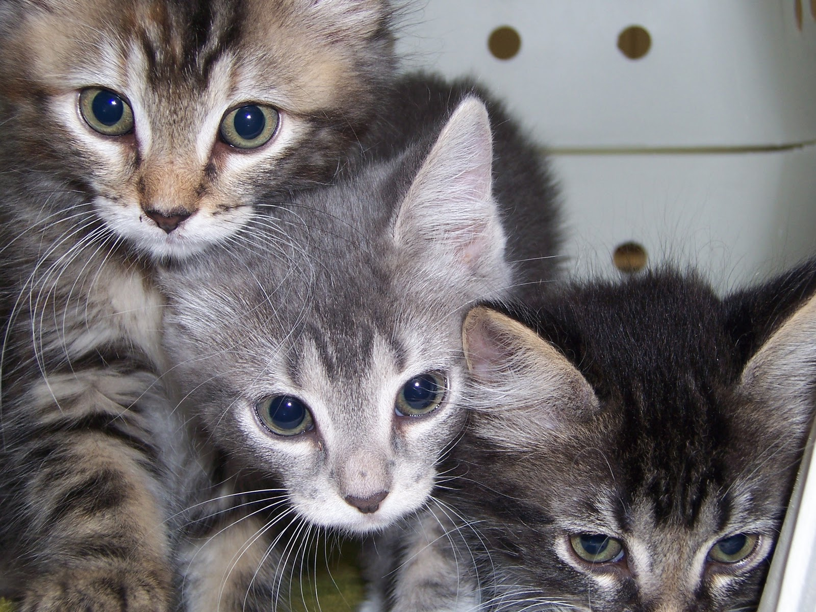 Are Cat S Kidneys More Susceptible To Disease