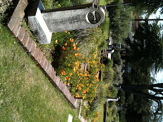 Eschscholzia californica at the cemetary