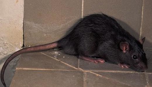 Guia para matar a una rata taringa - Como matar ratas en casa ...