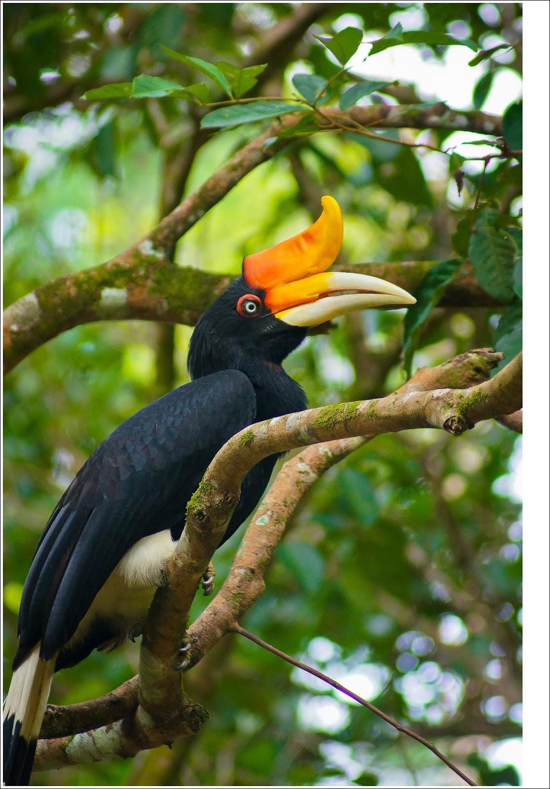 Dunia Binatang: Gambar Burung Enggang