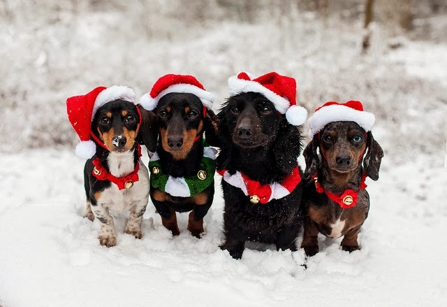 Cutest Dog Christmas Photos, Daschund christmas dogs