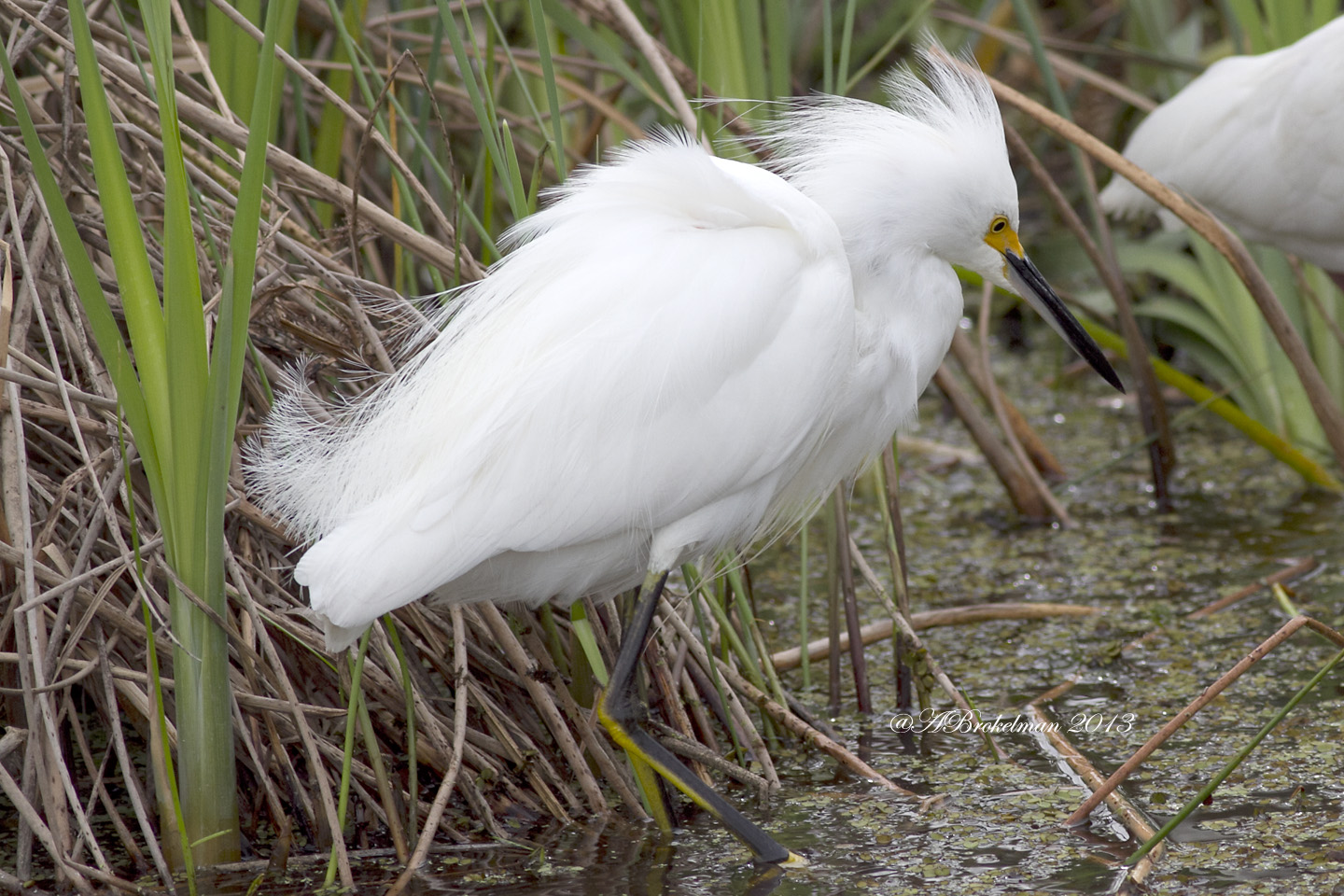 ann brokelman photography snowy egret with golden slippers florida jan 2013. Black Bedroom Furniture Sets. Home Design Ideas