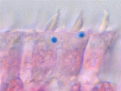 Cells from the inner ear of pigeons stained with a chemical that turns iron bright blue in colour. (Credit: IMP)