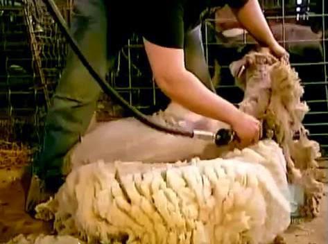 asal serat benang wol dari hewan
