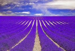 Provence lilás