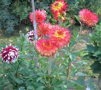 Sonja Benson's dahlia garden