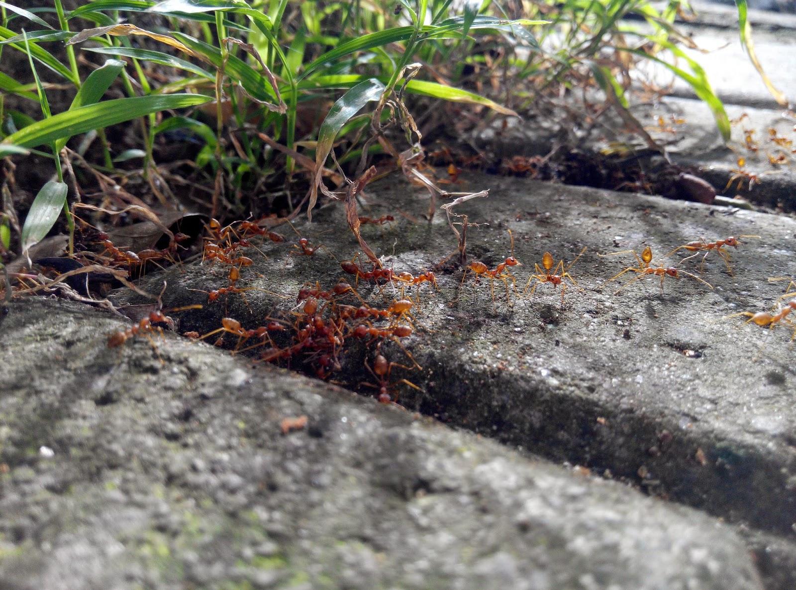 Semut Rangrang Penghasil Kroto