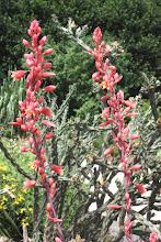 Hesperaloe parviflora-False Red Yucca
