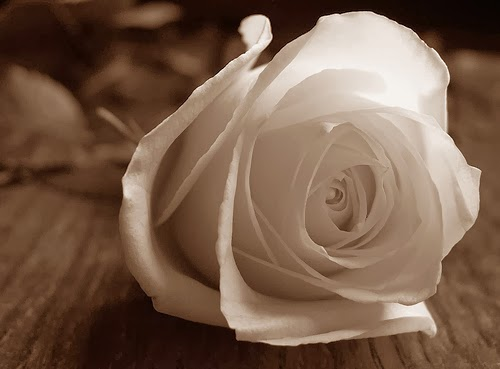 kumpulan gambar bunga mawar putih yang cantik amp indah