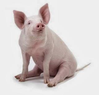 porco branco