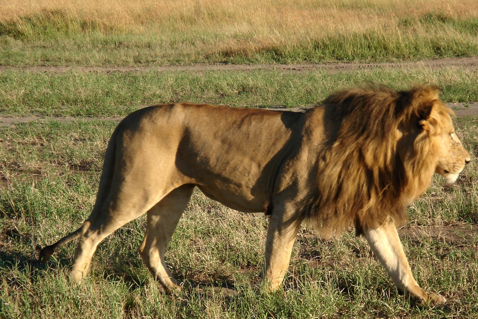 Amazing Physical and Behavioral Adaptations of African Lions