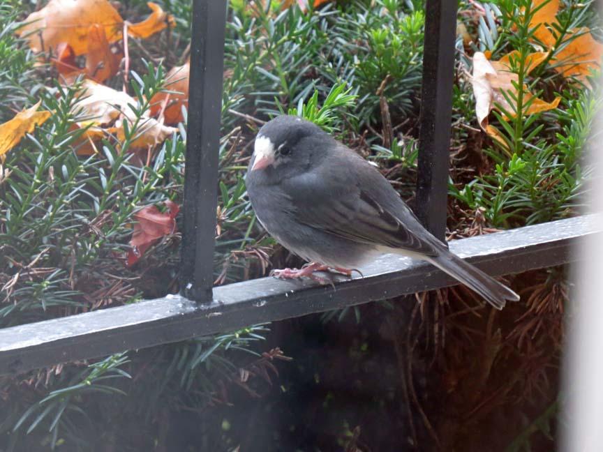 blog gilles lacroix il est urgent d 39 inviter nos oiseaux d 39 hiver demeurer chez nous. Black Bedroom Furniture Sets. Home Design Ideas