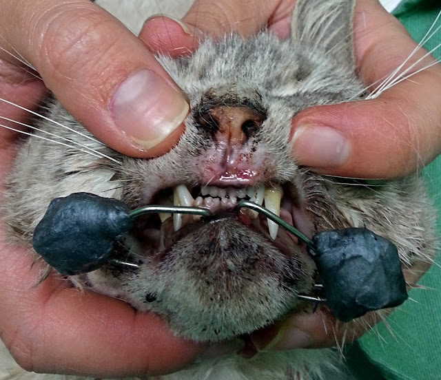 fractura de mandíbula en gato