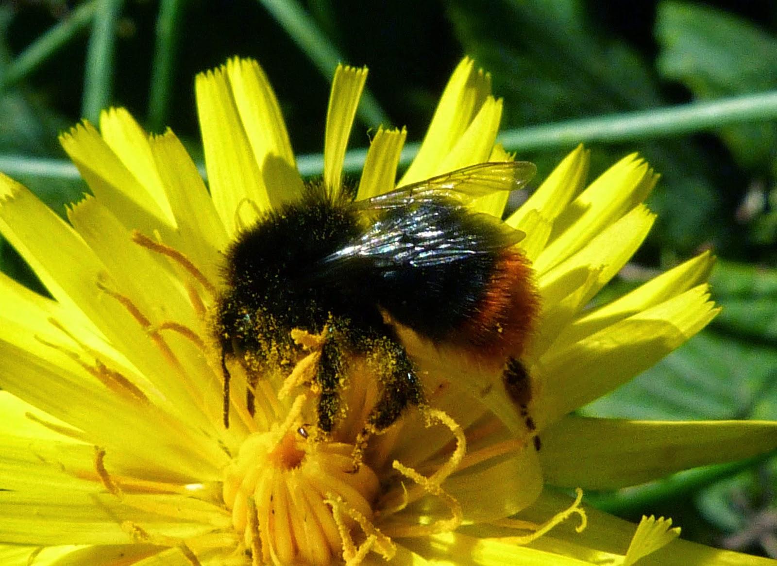 Insects Of Scotland Beeswaspsichneumonssawfliesants