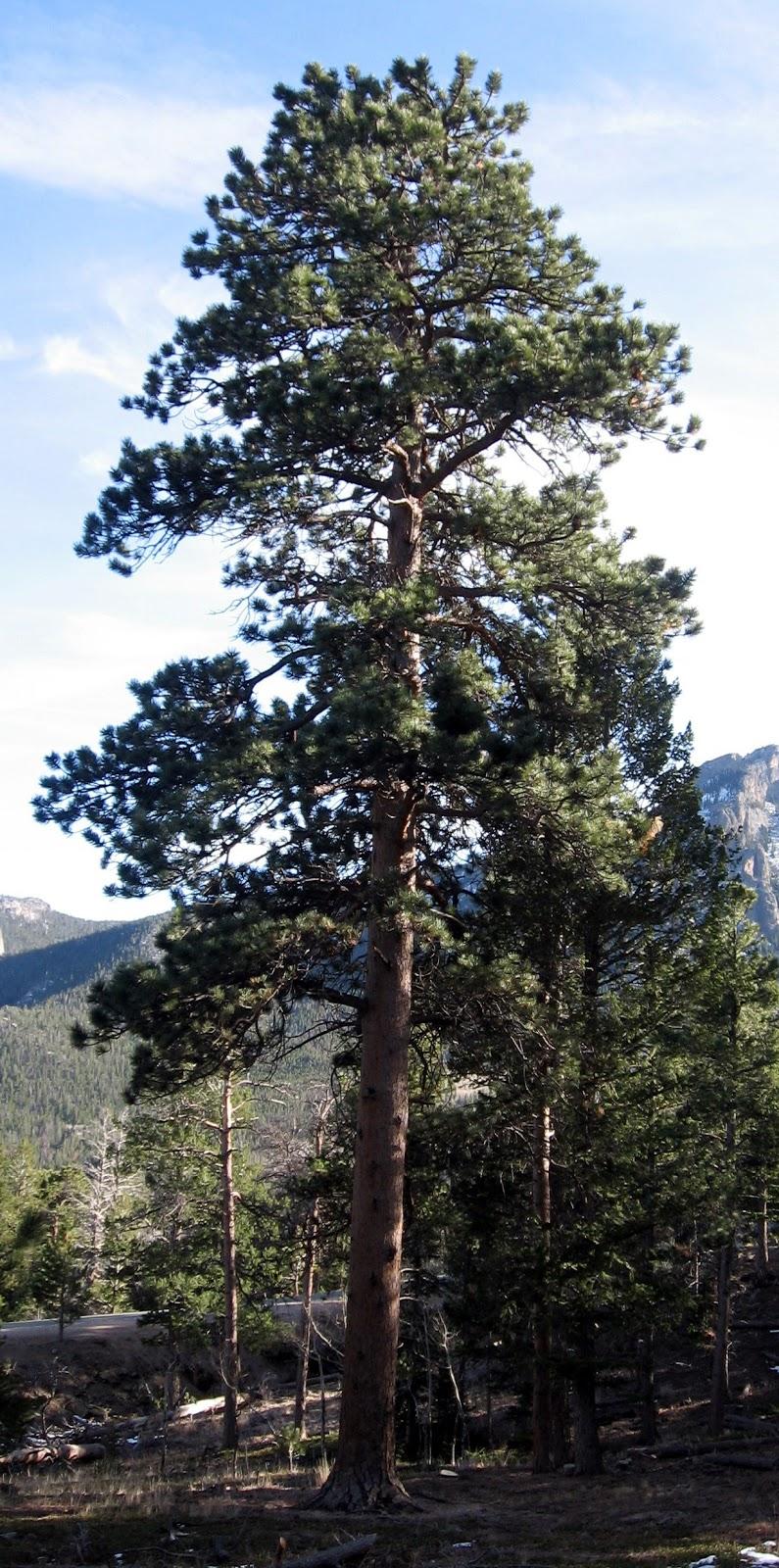 mountains pine trees - photo #23