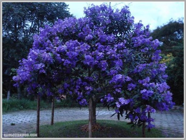 Fotos De Arvores Com Flores Roxas - Caroba Uma exuberância de flores Apremavi