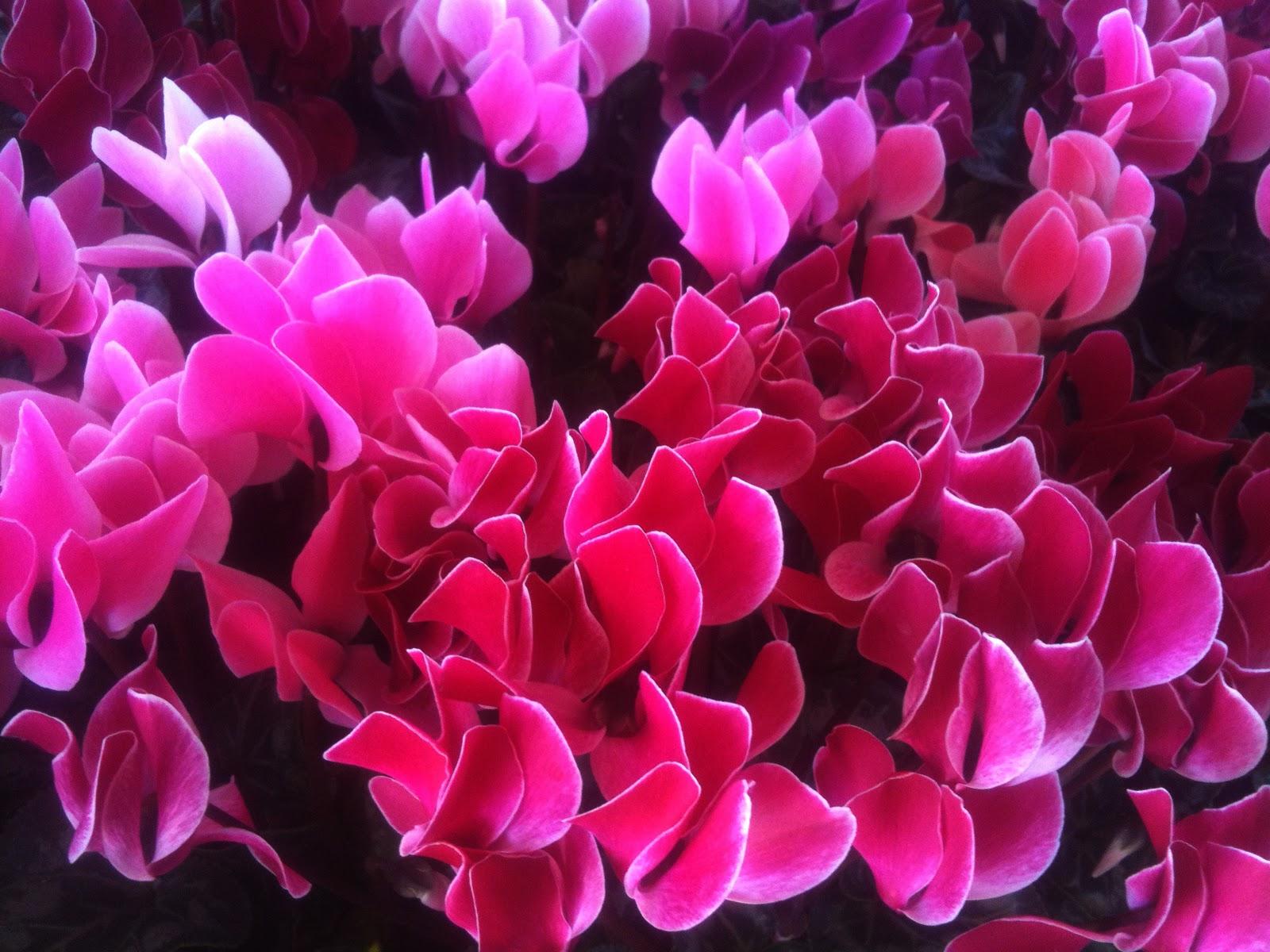 Aprille s SoCal Gardening Cyclamen