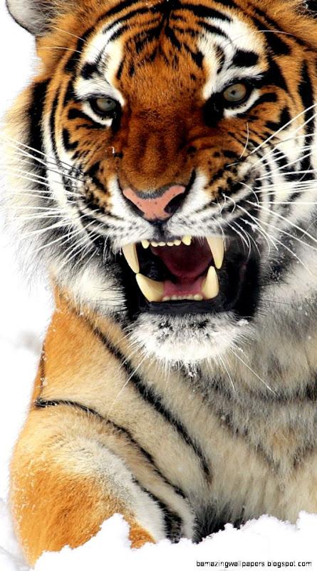 IPhone 6 Tiger Wallpapers HD Desktop Backgrounds 750x1334