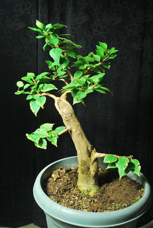 Bogainvillea Bonsai - Informal Upright