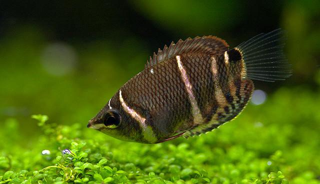 Sphaerichthys osphromenoides - Chocolate Gourami Fish Pictures